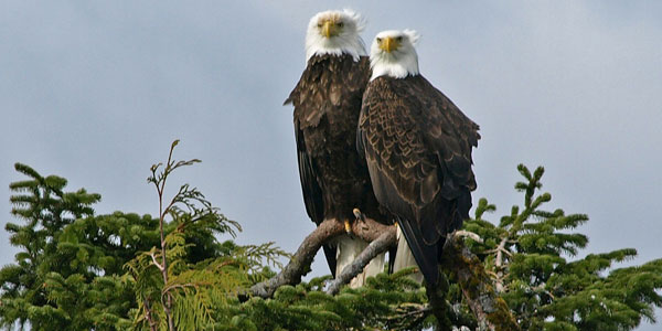 Two eagles perched