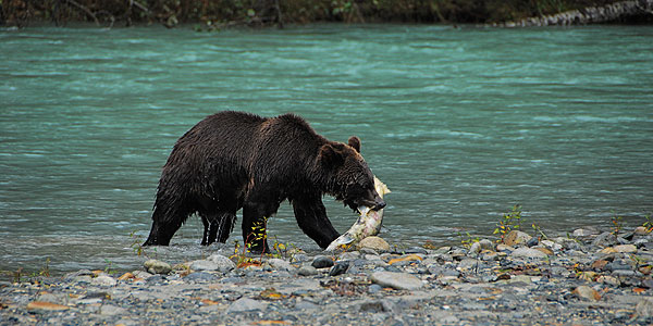 Grizzly Lunch