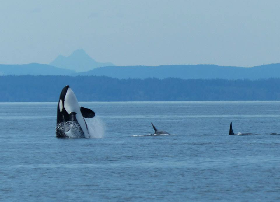 Orcas Showing Off Their Tails