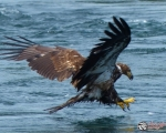 Eaglehake