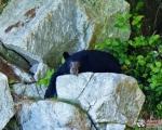 Blackbearesting