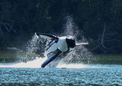 Orca fly