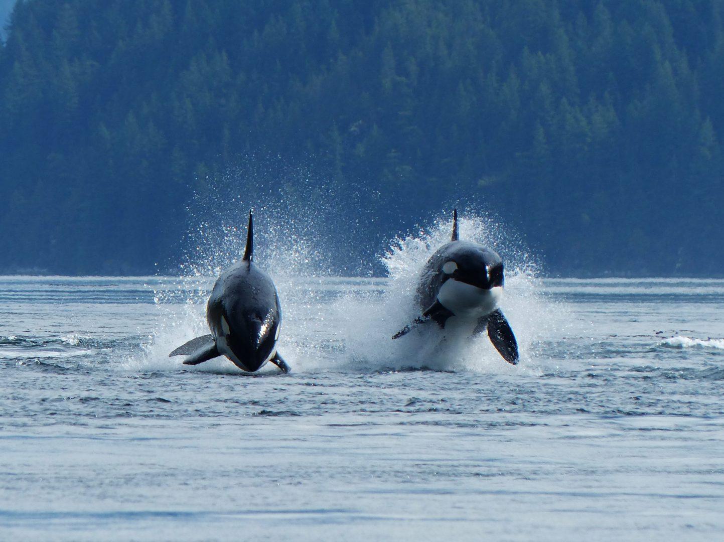 Orcas porpoising