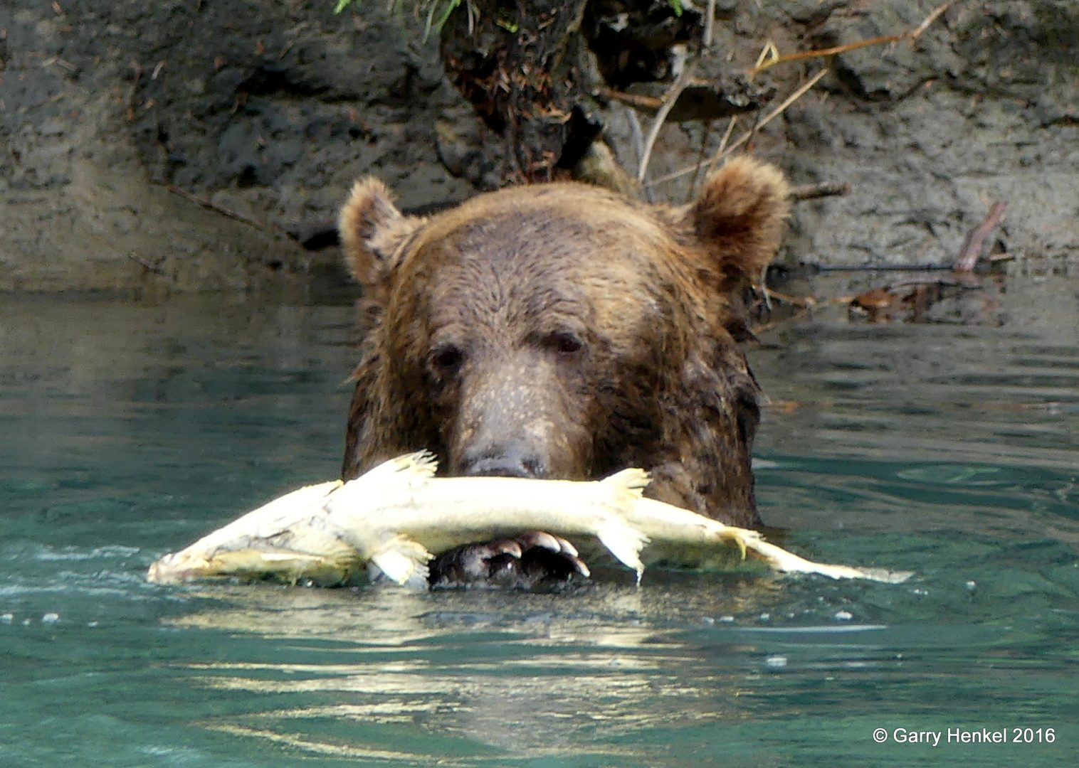 Grizzly Bear Viewing Vancouver Island